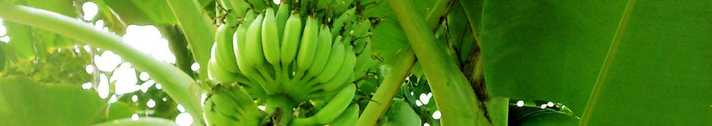 Mahadhan - Banana-Crop