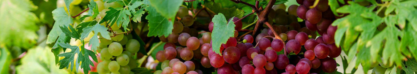 Mahadhan - Grapes-Crop