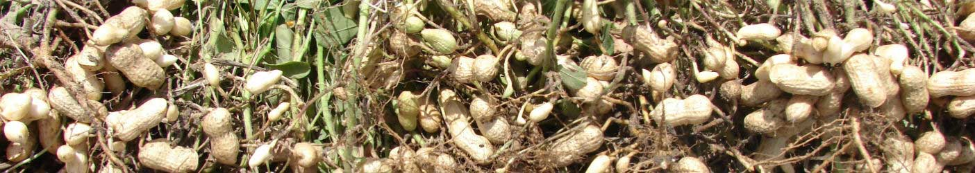 Mahadhan - Groundnut-Crop
