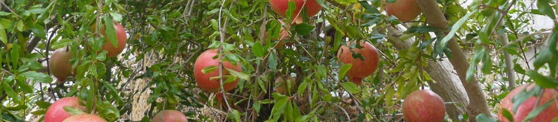 Mahadhan - Pomegranate-Crop