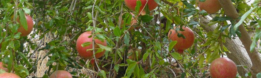 Mahadhan - Pomegranate-Crop