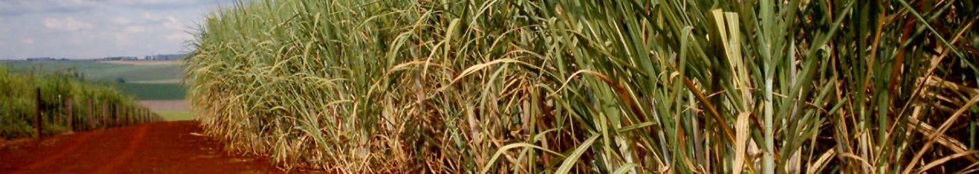 Mahadhan - Sugarcane-Crop