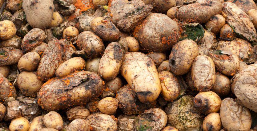 Potato – diseases and symptoms