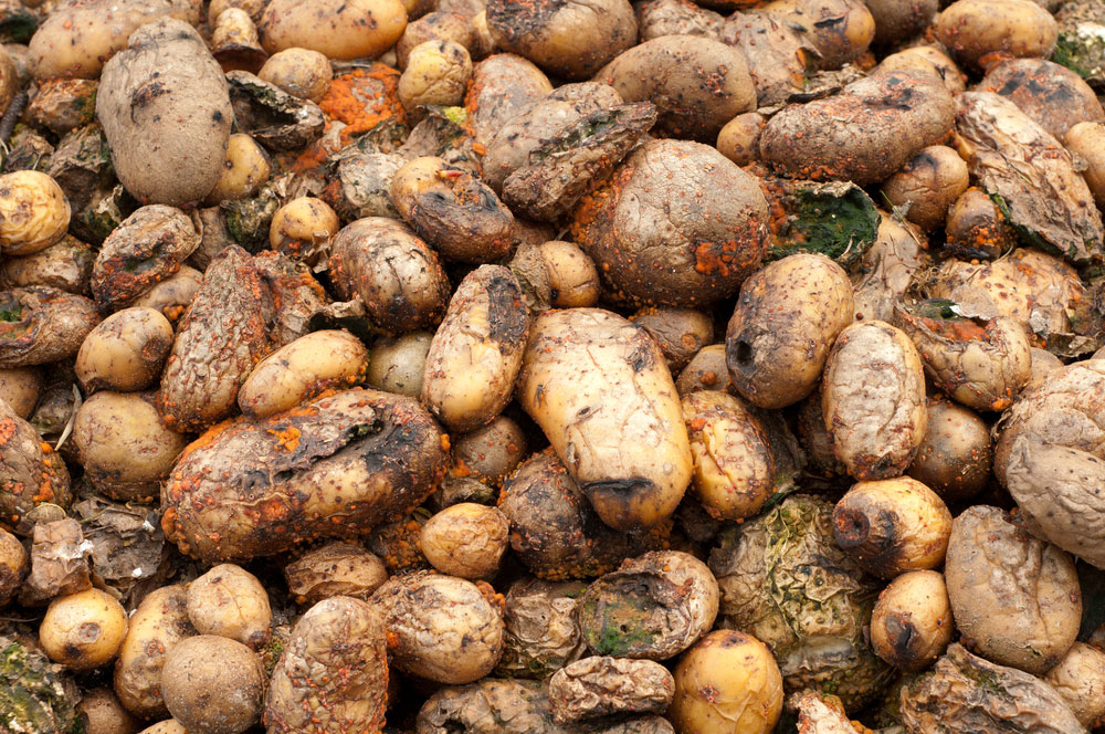 Potato – diseases and symptoms