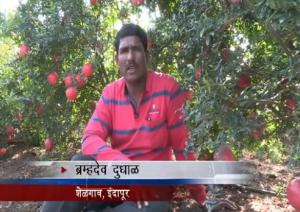How Mahadhan Helps Farmers Get A Good Pomegranate Produce