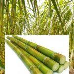 Sugarcane Production