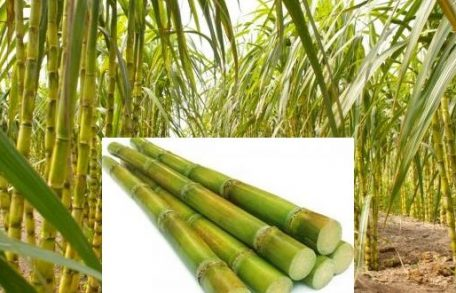 Sugarcane Production