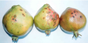 Oily Spot Disease Management in pomegranate