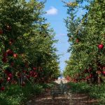 Translated- Nutrient Management in Pomegranate