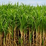 Sugarcane Mahadhan Fertilizer