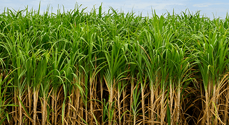 Sugarcane Mahadhan Fertilizer